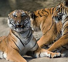 Malayan Tiger Cubs by Kathy Newton