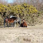 Welsh Mountain Ponies by Rayworsnop