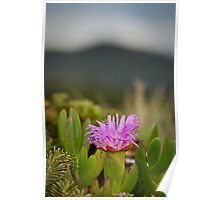 Native Pigface - South East Cape, Tasmania Poster