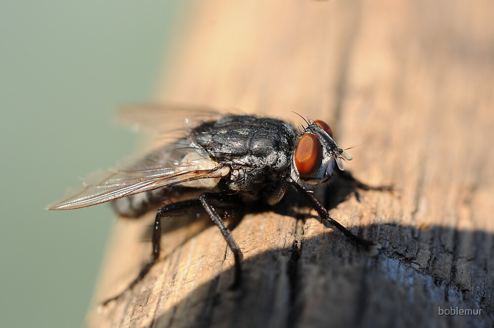 Macro of common house fly by boblemur