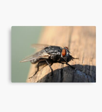 Macro of common house fly Canvas Print