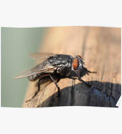 Macro of common house fly Poster
