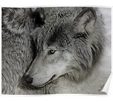 Unperturbed Timber Wolf Poster