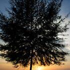 Pine Tree by BengLim