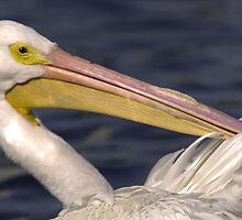 White Pelican by Larry  Grayam