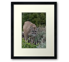 Cougar looking for dinner Framed Print