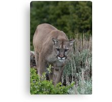Cougar looking for dinner Canvas Print