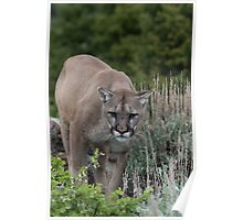 Cougar looking for dinner Poster
