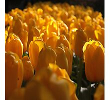 The land of tulips Photographic Print