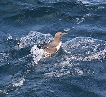 Turbo charged Guillemot! by Crannaig