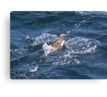 Turbo charged Guillemot! Canvas Print