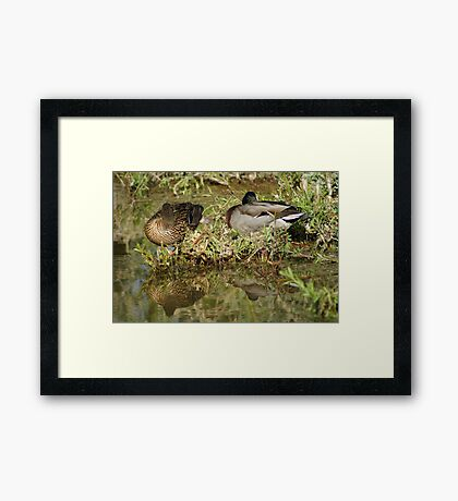 Sleeping Ducks Framed Print