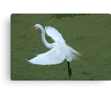 Avery Island Egrets--Coming in for a landing Canvas Print