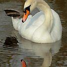 Mute Swan Preening by Robert Abraham