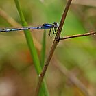 March Bluet by Bill Morgenstern