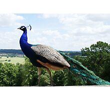 Peacock...Belvoir Castle,Leicestershire Photographic Print
