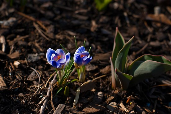 Early Crocuses Peeking Out of the Spring Earth by Paul Marotta