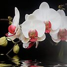 white and pink orchid flooded by hilarydougill