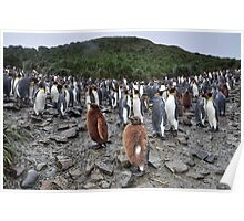 King Penguins and their Furry Chicks Poster