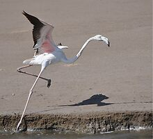 Flamingo by Cheryl Westerdale