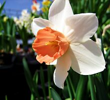 White Daffodil  by venny