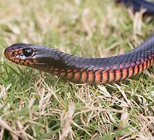 Red-Bellied Black Snake by JayWolfImages