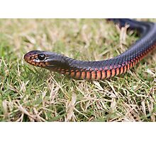 Red-Bellied Black Snake Photographic Print