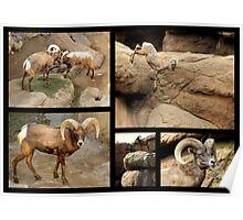 Bighorn Sheep ~ Collage Poster