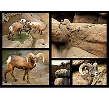 Bighorn Sheep ~ Collage Photographic Print