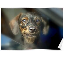 Wired haired Poodle/Dashund..... DOXIEPOO... Poster
