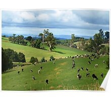 Cattle grazing at Neerim South, Gippsland, Victoria Poster