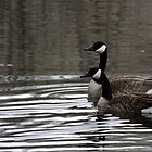 Canada Geese ~ Beus Pond by Jan  Tribe
