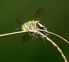 Blue-Banded Bee by Sarah Jennings