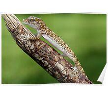 dwarf gecko Poster