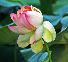 Sacred Lily or Lotus Lily by Kenric A. Prescott