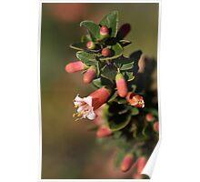Australian Fuchsia Poster