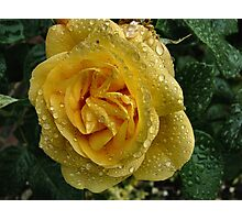 Rose in Dew Photographic Print