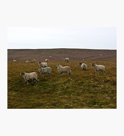 Moorland Sheep Photographic Print