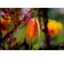 orange tulip, unopened... Photographic Print