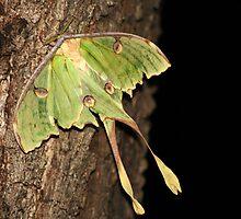 Emperor Moth by Juan  Venter
