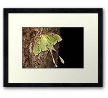 Emperor Moth Framed Print