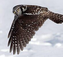 Nothern Hawk Owl Fly BY by Gary Fairhead
