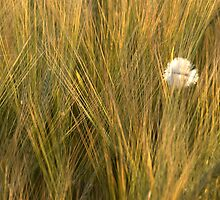 A feather among the barley by Richard Flint