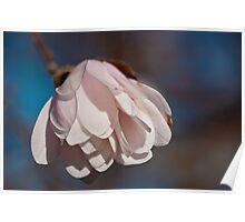 Star Magnolia Blossom Bloom Poster