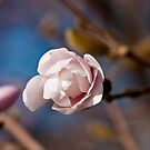 Pink and Blue Pastels, Star Magnolia Blossom by Dave Bledsoe