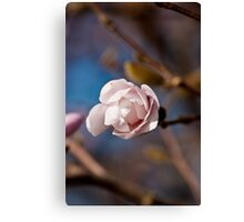 Pink and Blue Pastels, Star Magnolia Blossom Canvas Print
