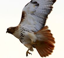 Red Tail Hawk by Chris Anderson