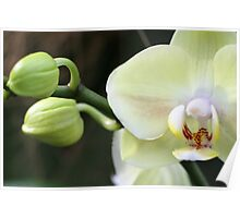 """Dendrobium,"" ""sea mary,"" ""snow king"" Orchid Poster"