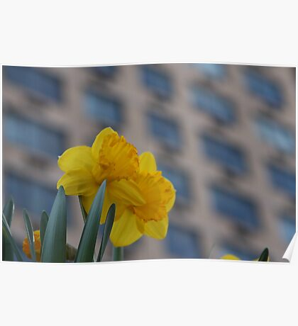 Daffodils in the City Poster