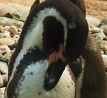 Penguin Preening! Colchester Zoo by MichelleRees